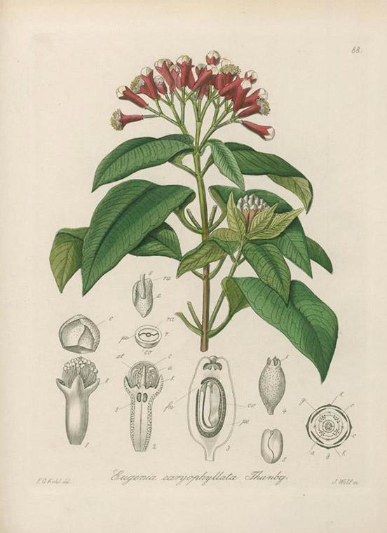 Cloves botany