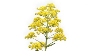 Asafoetida healing herb