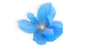 Blue Poppy healing herb