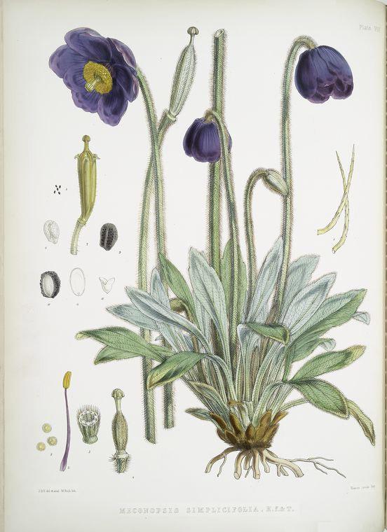 Blue poppy healing herb