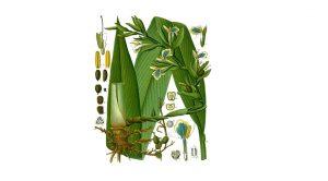 Cardamon green healing herb