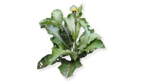 Costus - Saussurea lappa