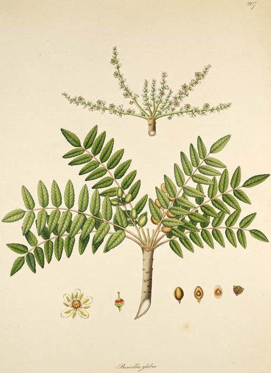 Frankincense Boswellia