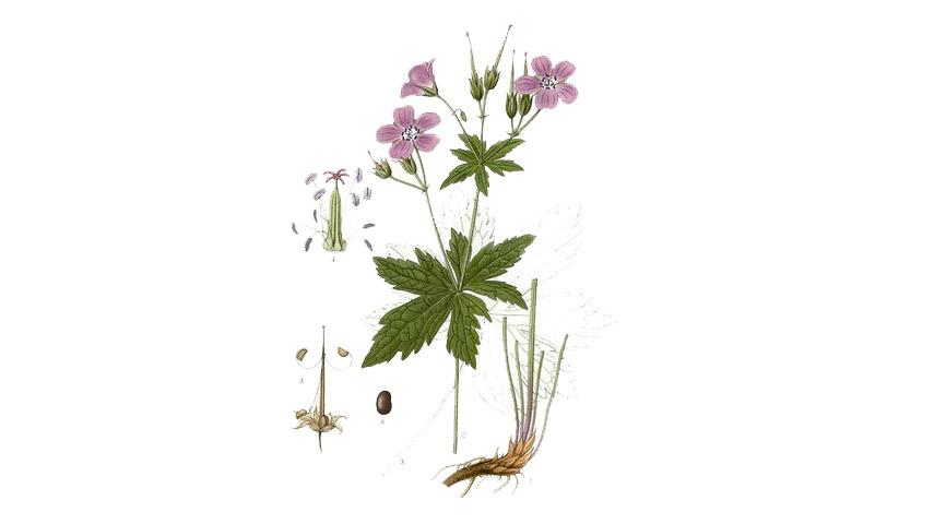 Granesbill Geranium sp