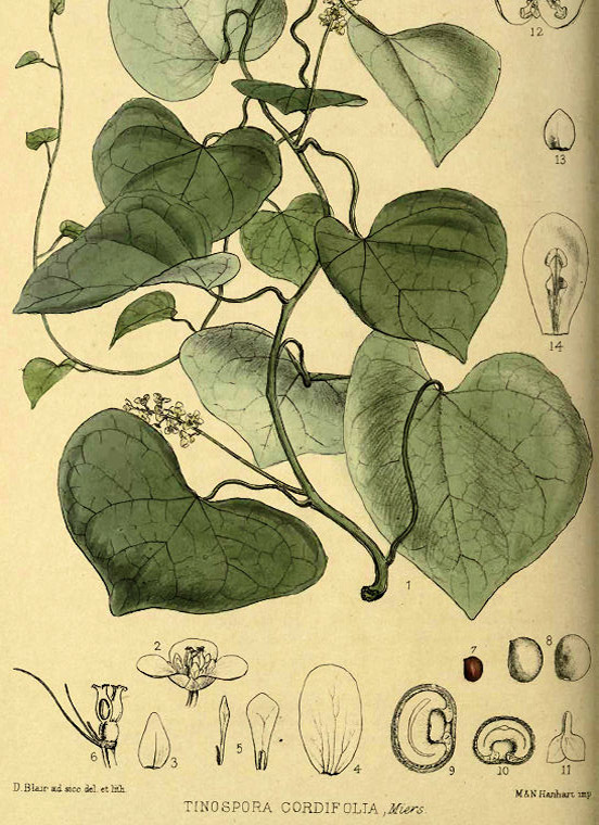 Moonseed Tinospora cordifolia plant