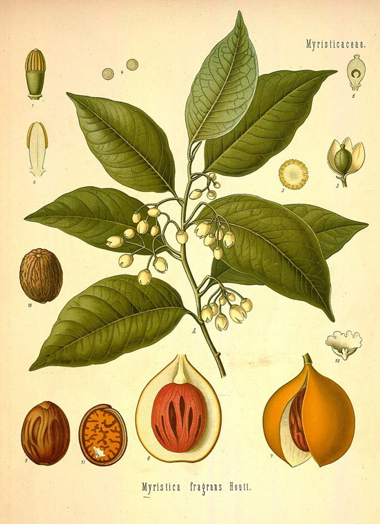 Myristica fragrans - Nutmeg