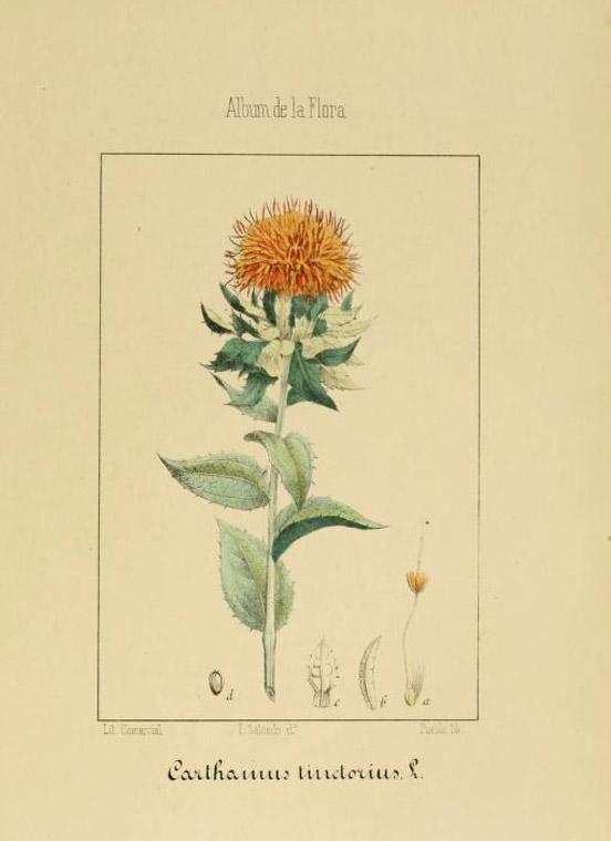 Safflower-Carthamus-tinctorius-plant