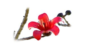 Silk Cotton Tree flower