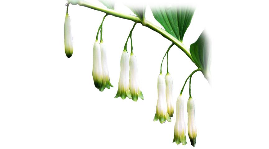 Polygonatum cirrhifolium