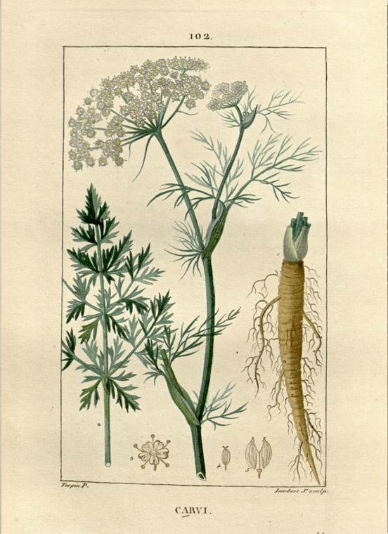 caraway healing herb