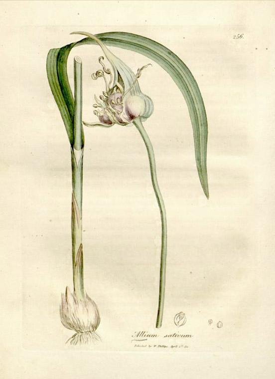 garlic plant structure