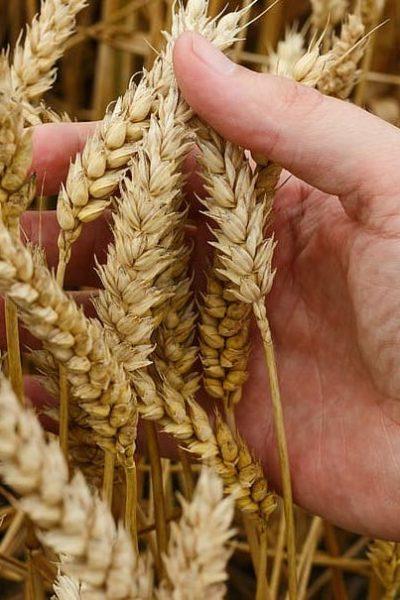 wheat-grain-crops-bread